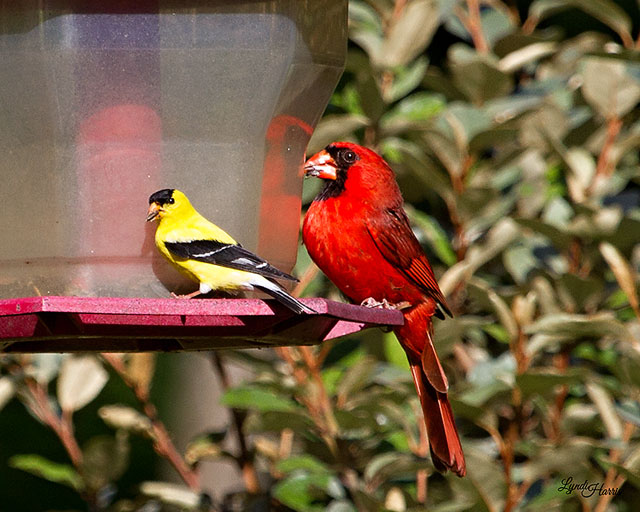 Northern_Cardinal-and-American_Goldfinch-cbc
